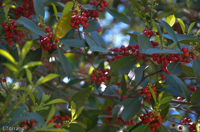 Spring Berries of the American Holly - for the birds!