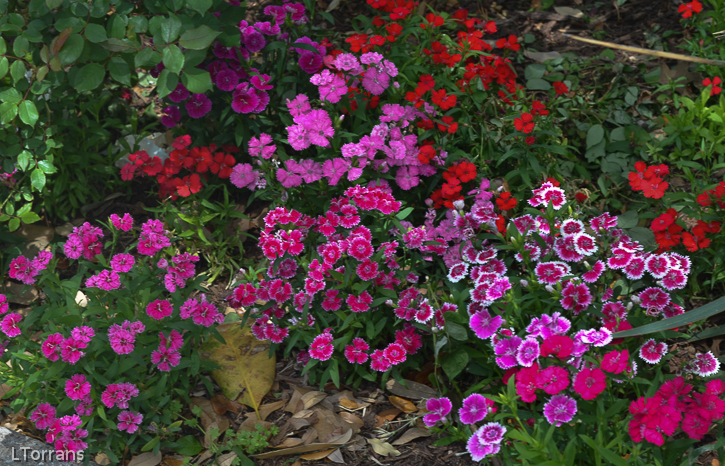 Dianthus blooms with snapdragons