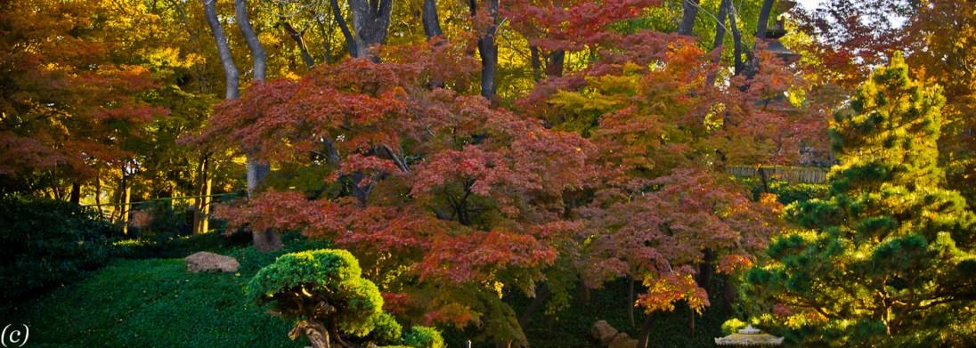 Japanese_Maple-4