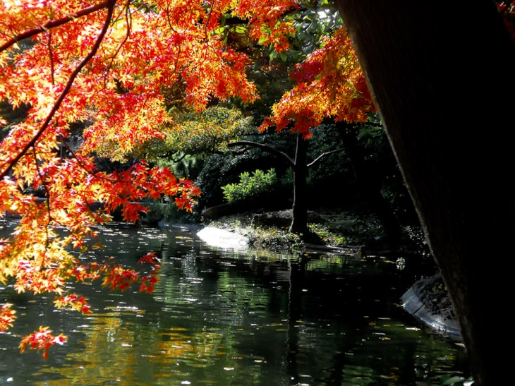 Japanese_Maple-6