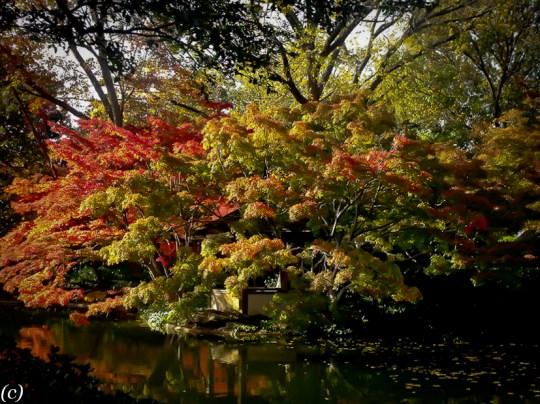 Dallas Landscaping Japanese Maples Lee Ann Torrans