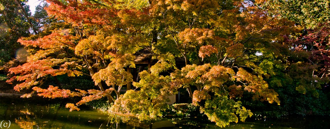 Japanese_Maples