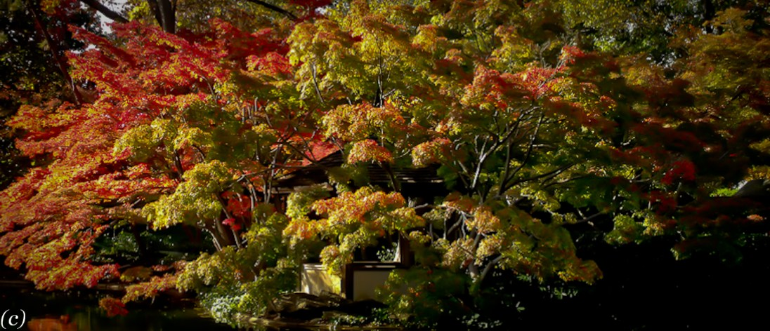 Japanese_Maples_2011