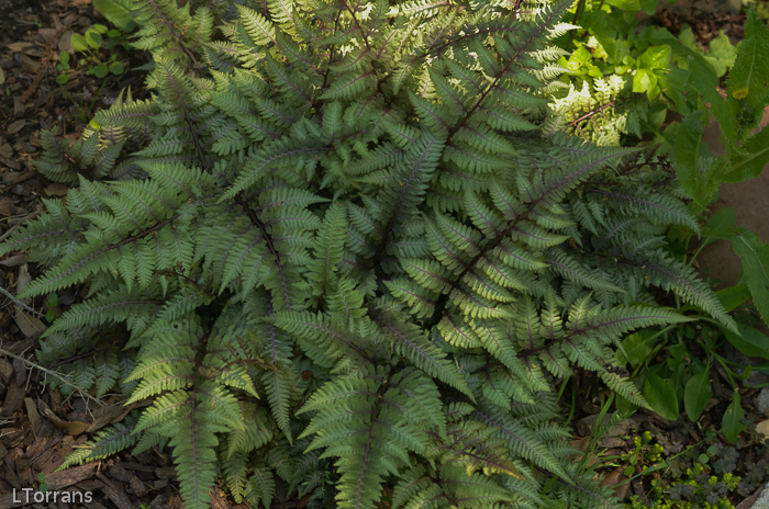 Japanese Sword Fern