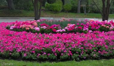 Annual Petunia and Geranium