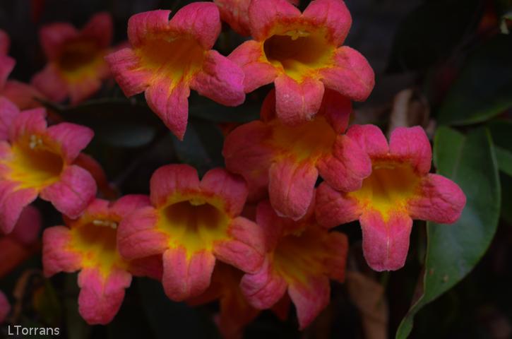 Tanagerine Beauty Cross Vine