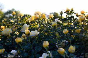 Centennial_Grandiflora_Yellow_Rose_Texas_Lee_Ann_Torrans-5