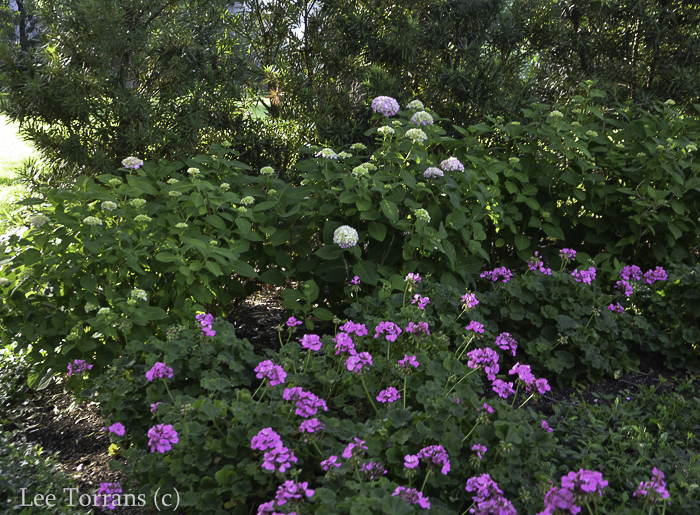 Mop Head Hydrangea and Geranium Border