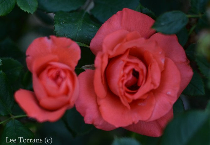 Marmelade_Skies_Hybrid_Tea_Rose_Dallas_Lee_Ann_Torrans-2