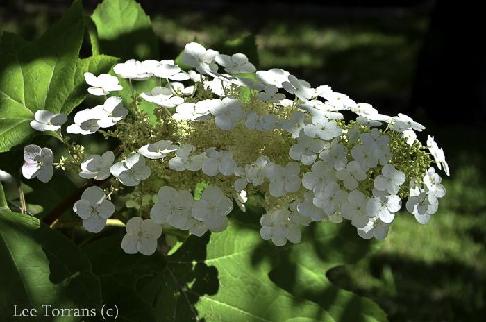 Oak Leaf Hydrangea - Natural Southern Plant Alice