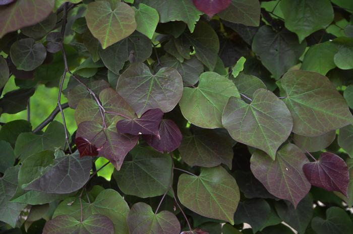 Redbud_Texas_Flowering_Tree_Lee_Ann_Torrans-4