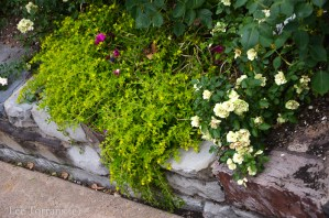Dallas Landscaping and Gardening Basket of Gold Sedum Lee Ann Torrans