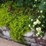 Dallas Landscaping and Gardening Basket of Gold Sedum Lee Ann Torrans