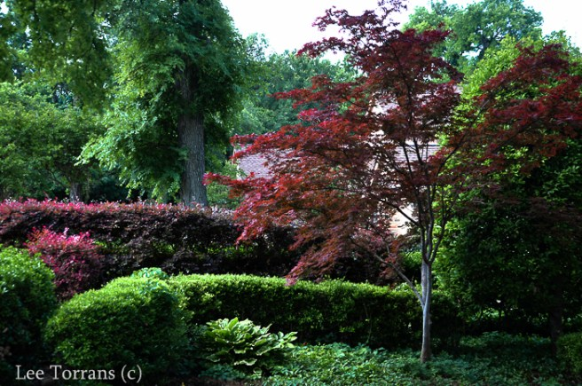Japanese Maple and Barberry