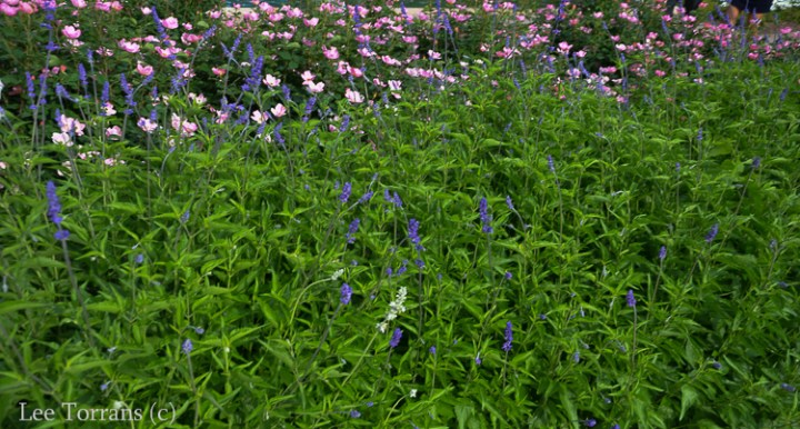 Mealy Blue Sage - Texas Perennial Planted in Front of Rainbow Home Run Roses