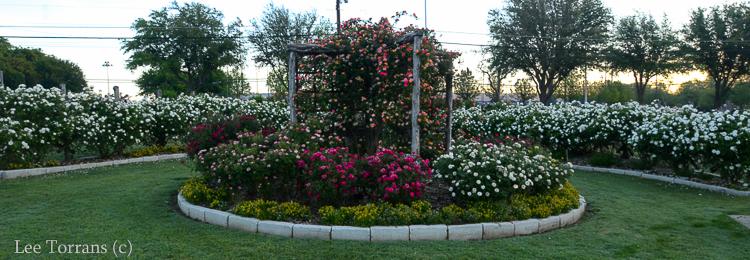 Iceberg Shrub Rose Carrollton Rose Garden Texas Rose
