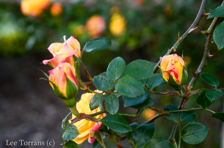 Climbing_Rose_Multicolor_Texas_Lee_Ann_Torrans-2