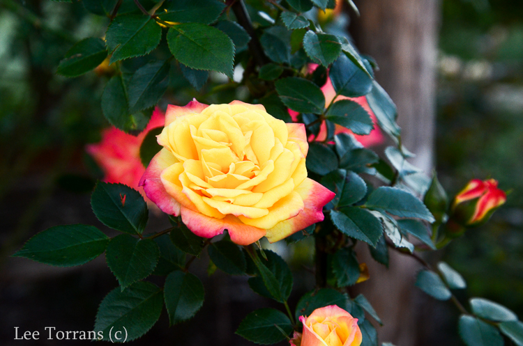 Climbing_Rose_Multicolor_Texas_Lee_Ann_Torrans-5