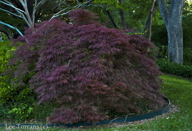 Crimson Queen in May Japanese Maple Burgundy