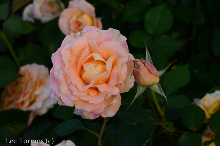 Daybreaker_Floribunda_Rose_Garden_Dallas_Texas_Lee_Ann_Torrans-9