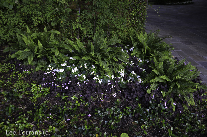 Purple shamrock with ferns. Dallas Landscaping - Lee Ann Torrans