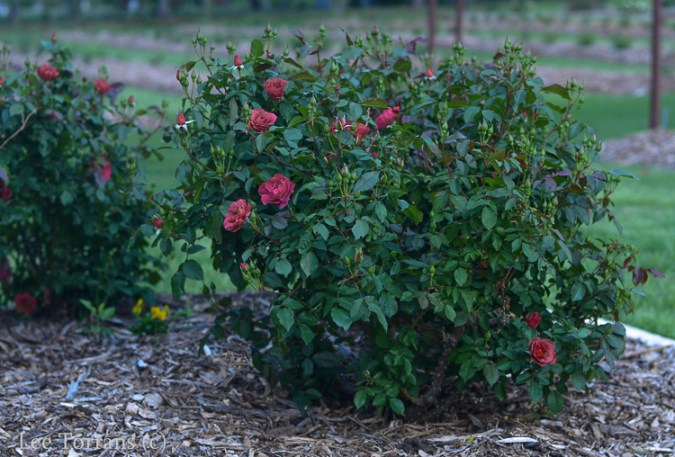 Hot_Chocolate_Shrub_Rose_Dallas_Texas_Lee_Ann_Torrans