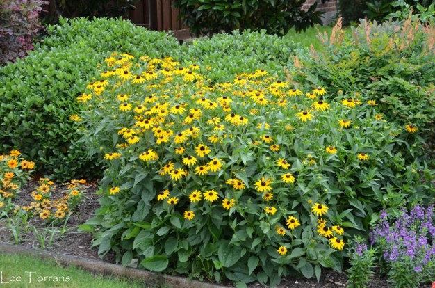 Rudbekia Texas Top Ten Perennial