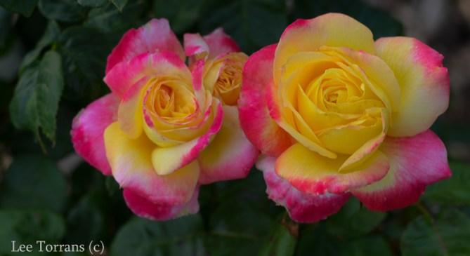 Love_And_Peace_Hybrid_Tea_Rose_Dallas_Texas_Lee_Ann_Torrans-2