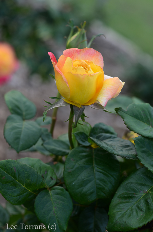Love_And_Peace_Hybrid_Tea_Rose_Dallas_Texas_Lee_Ann_Torrans-3