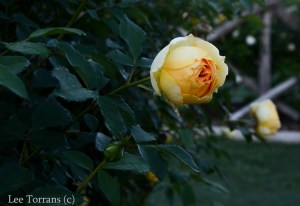 Molineux_Shrub_Rose_Texas_Lee_Ann_Torrans-2