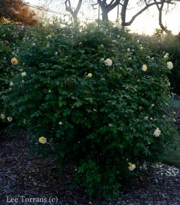 Molineux_Shrub_Rose_Texas_Lee_Ann_Torrans-4