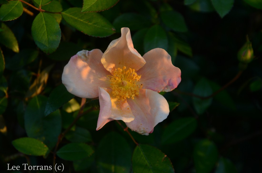 Mutabilis_Rose_Garden_Dallas_Texas_Lee_Ann_Torrans-5