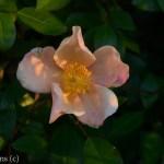 Mutabilis_Rose_Garden_Dallas_Texas_Lee_Ann_Torrans-5