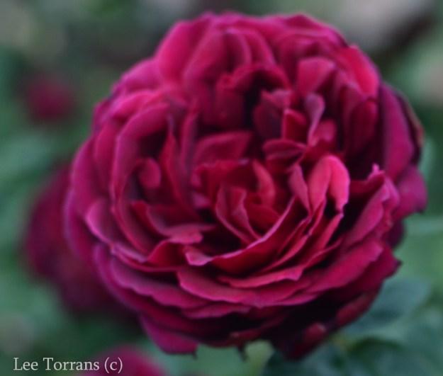Oklahoma_Grandiflora_Rose_Dallas_Texas_Lee_Ann_Torrans-2