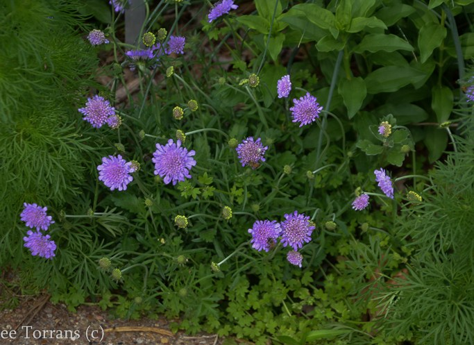 Pin_Cushion_Flower_Scabiosa_Perennial_Texas_Lee_Ann_Torrans