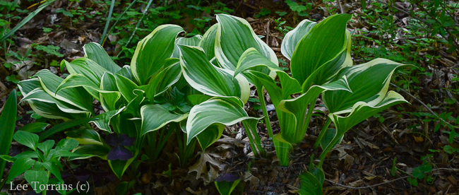 Plaintain_Lily_Hosta_Emily_Dickinson_Texas_Lee_Ann_Torrans
