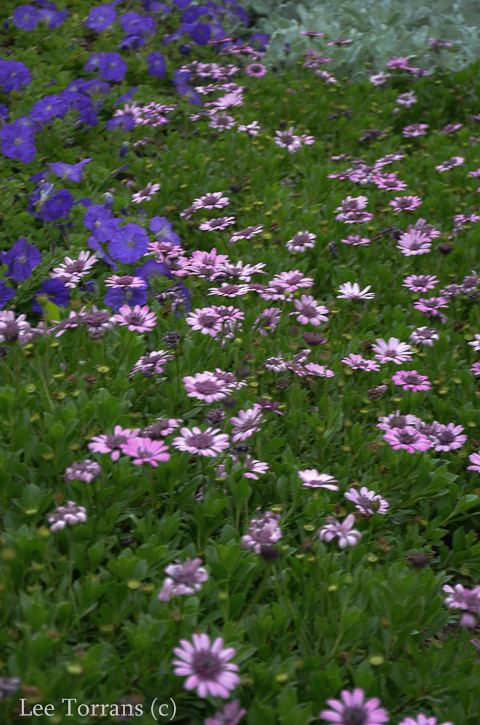 African Daisy - Osterperosum does well in Texas.