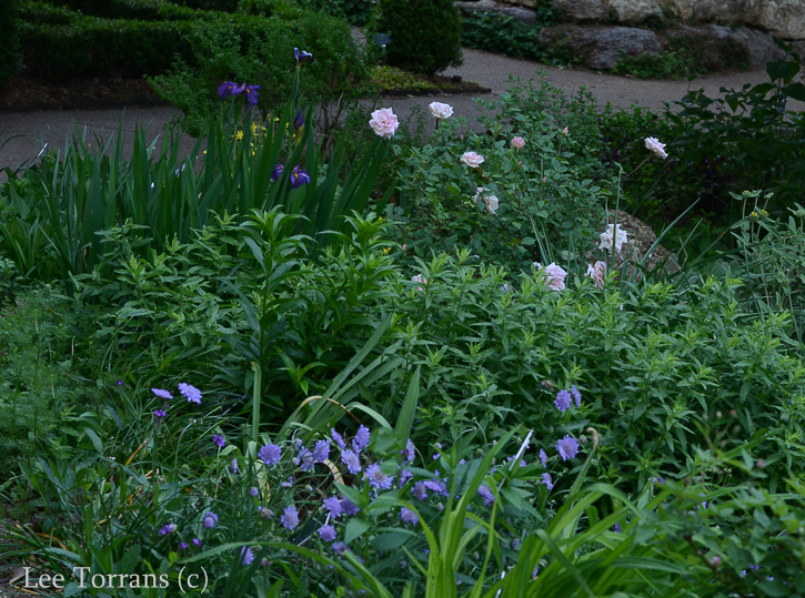 Purple Pin Cushion Woodland Planting