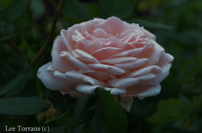 Quietness_Pale_Pink_Shrub_Rose_Texas_Lee_Ann_Torrans-2