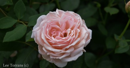 Quietness_Pale_Pink_Shrub_Rose_Texas_Lee_Ann_Torrans