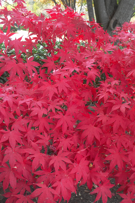 Full Leaf Japanese Maple RED in Autumn