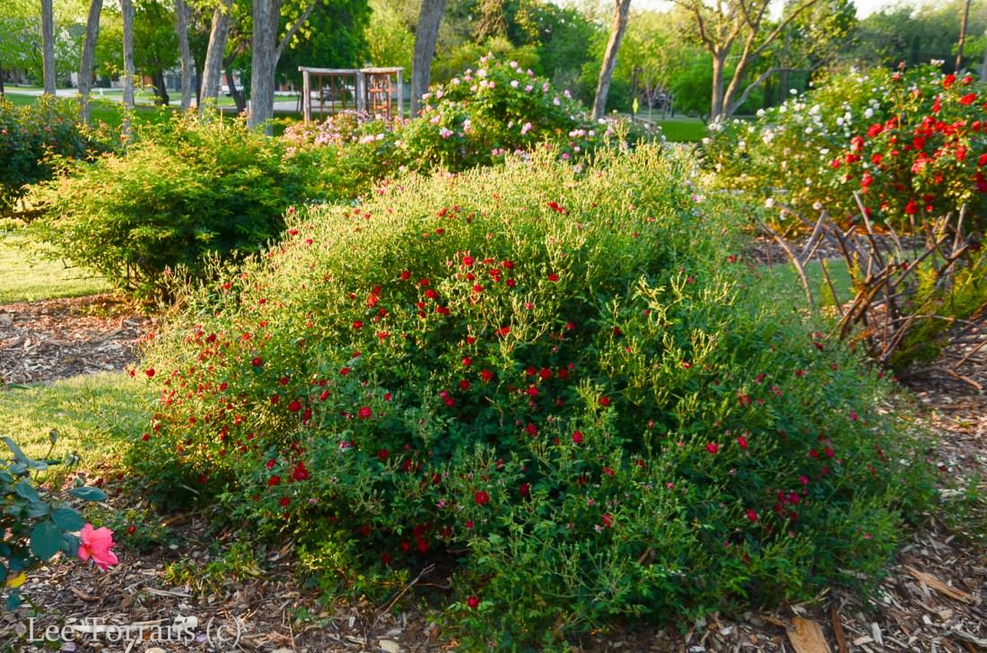 Red Cascade Miniature Rose Climber and Bush form
