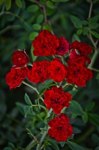 Red Cascade Miniature Texas Rose