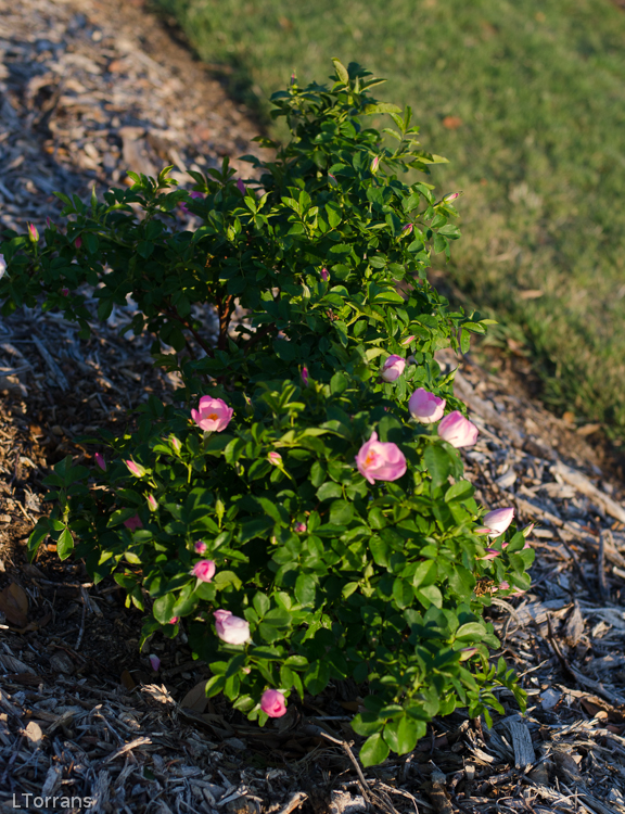 Roemer's Hip Happy Shrub Rose for Texas