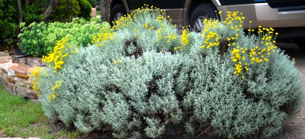 Santolina a Gray Perennial with Yellow June Blooming Flowers