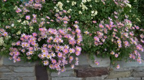 Pink Aster Daisies - Dallas Landscaping and Gardening Lee Ann Torrans