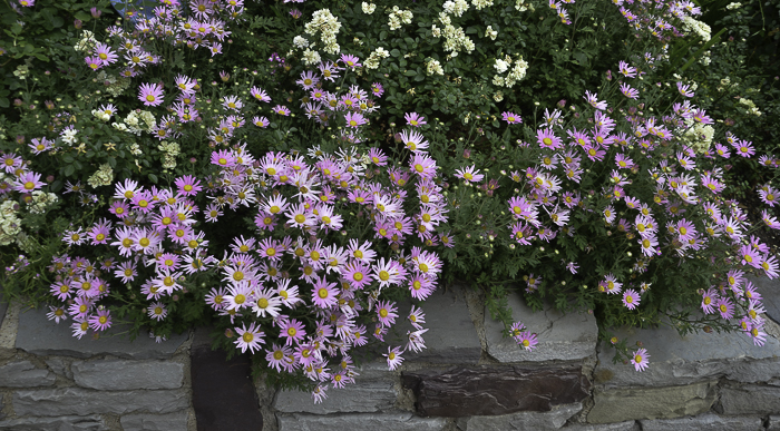 Pink Aster Daisies