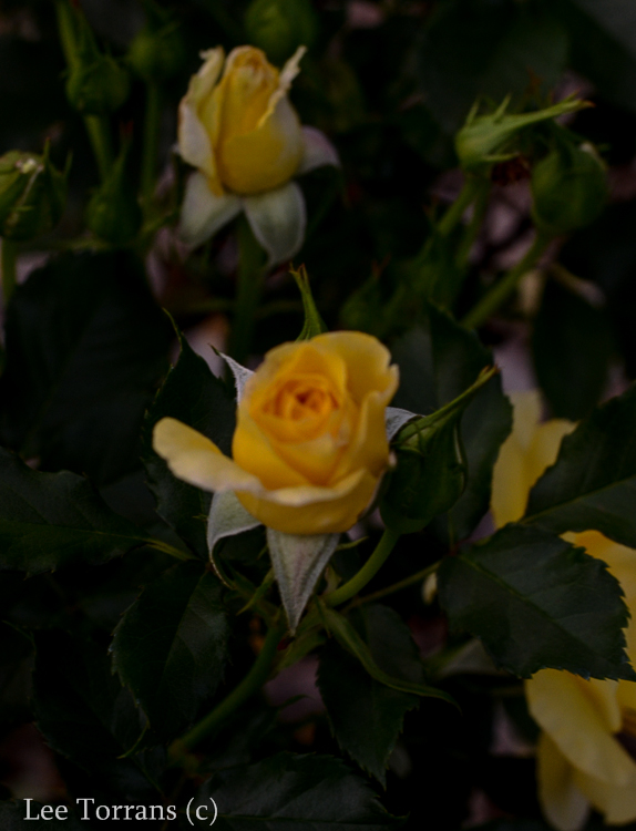 Sun_Flare_Floribunda_Rose_Garden_Dallas_Texas_Lee_Ann_Torrans-5