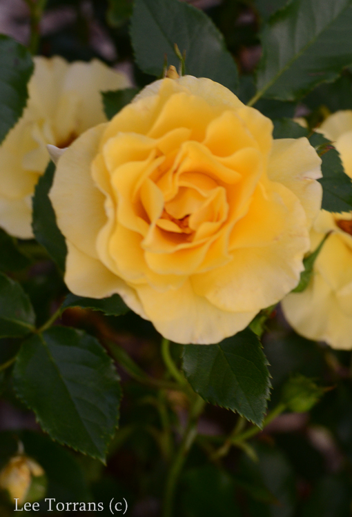 Sun_Flare_Floribunda_Rose_Garden_Dallas_Texas_Lee_Ann_Torrans-6