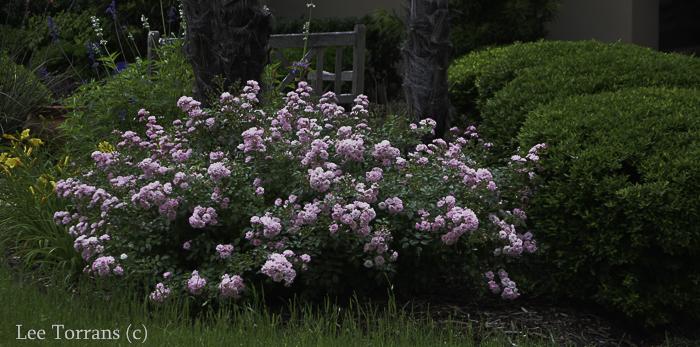 The Fairy Miniature Rose for Texas